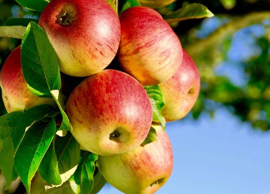 Fruit Trees - Apple