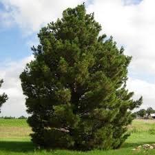 Afghan Pine Tree Abilene