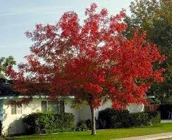Chinese Pistacio Trees Abilene