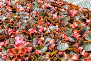 too much water is bad for begonias