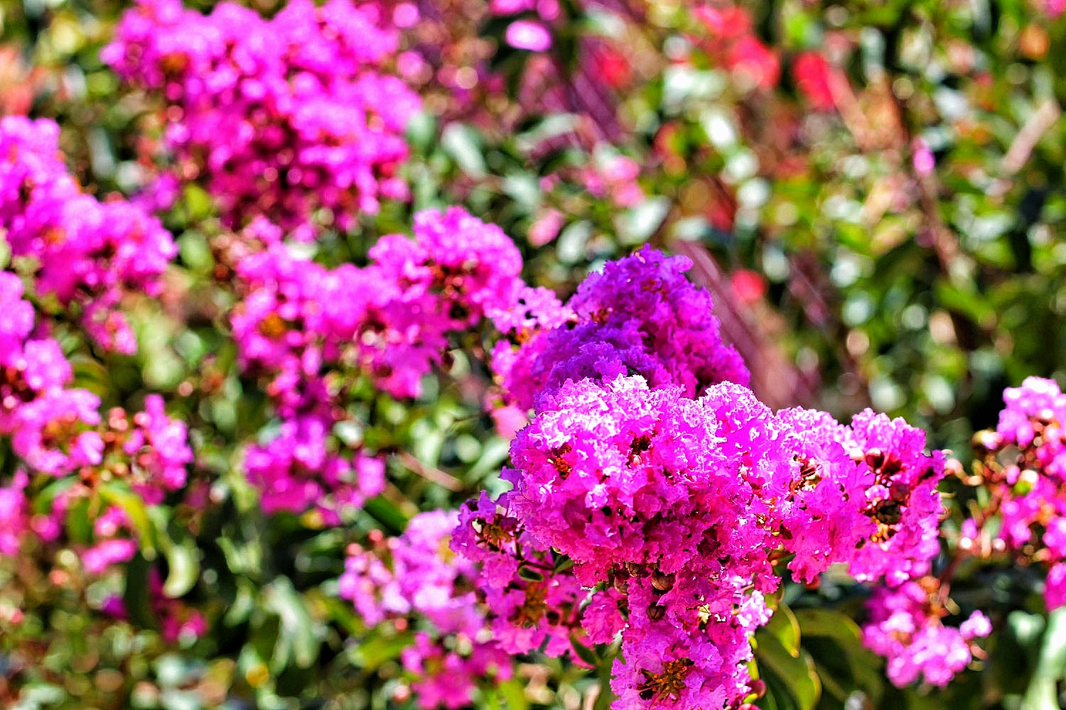 crape myrtles in bloom