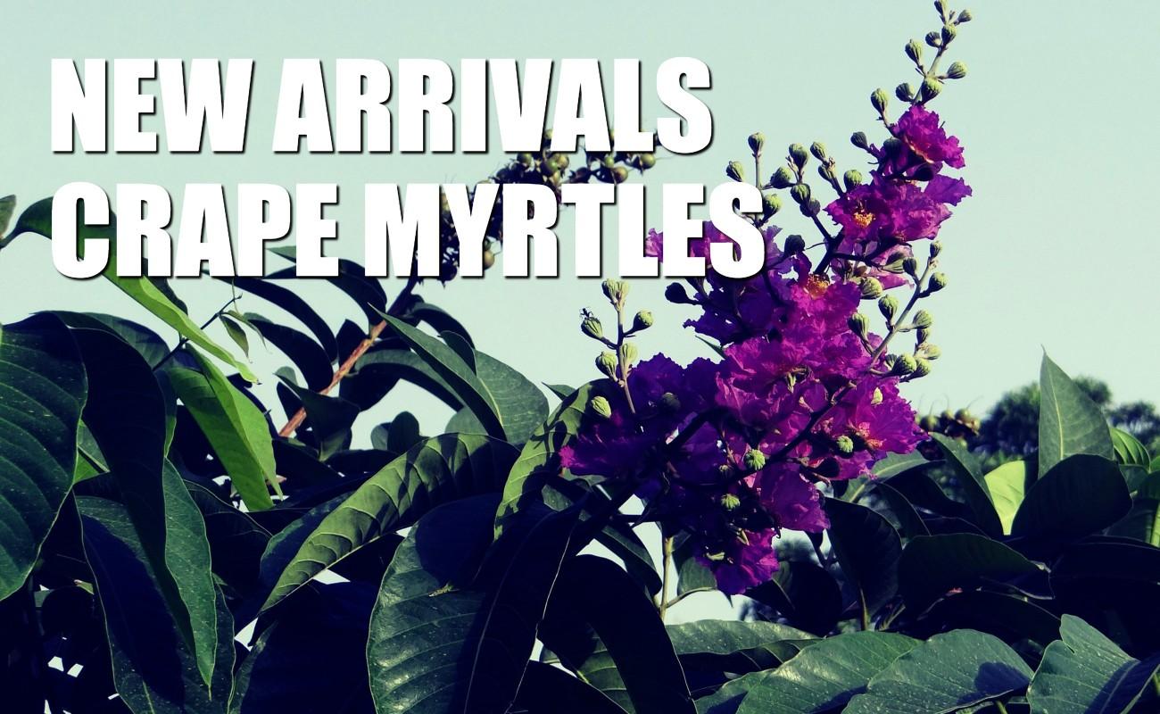 new arrivals crape myrtles